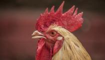 Asal Mula Shio Ayam
